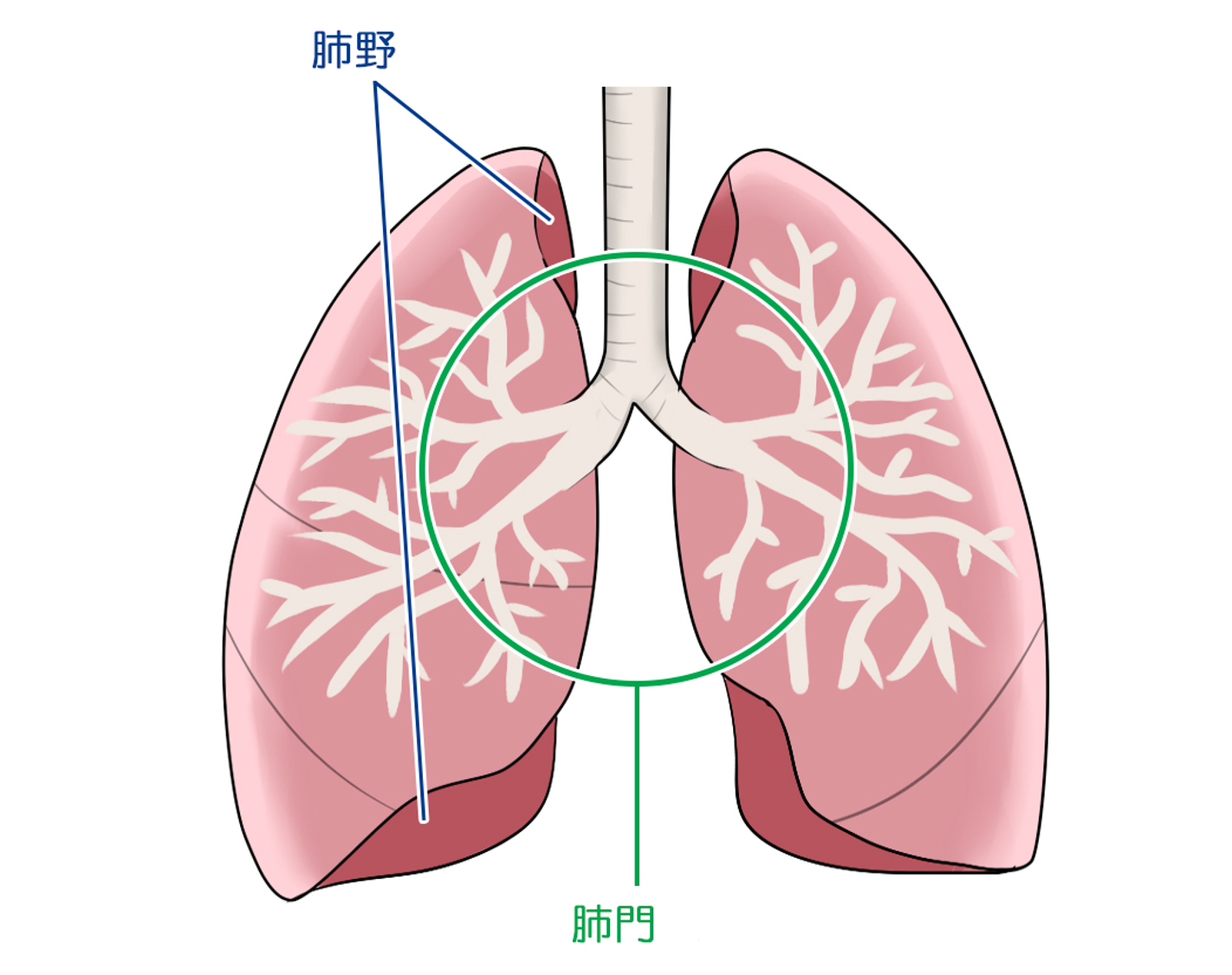 Lung details